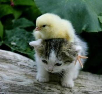 ヒヨコを助ける猫 出典:不明