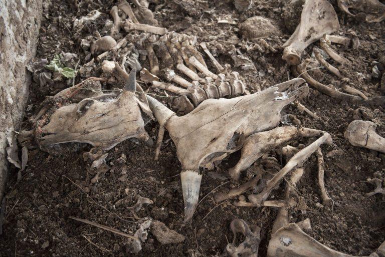 写真(無数の家畜が飢え死にし、放置されたままだ)